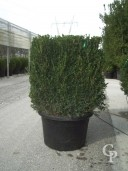 Buxus Sempervirens   60   Cube