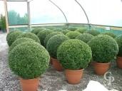 Buxus Sempervirens   90cm  Ball