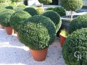 Buxus Sempervirens 95cm  Ball