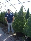 Buxus Sempervirens  Cone  1,50-1,75