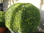 Buxus Sempervirens  Extra Ball