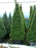 Buxus Sempervirens  Four Sided