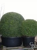 Buxus Sempervirens  100cm Extra Ball