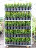 Buxus Sempervirens  20-25 1 5l