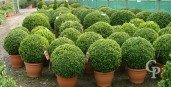 Buxus Sempervirens  60cm Ball