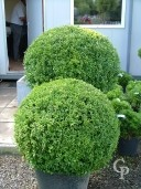 Buxus Sempervirens  70cm Plus Ball