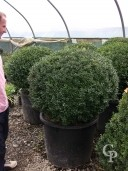 Buxus Sempervirens  95cm Plus Ball