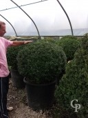 Buxus Sempervirens  95cmball