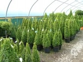 Buxus Sempervirens Cone Selection