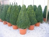 Buxus Sempervirens Flat Sided Pyramid