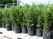 Buxus Sempervirens Large Hedging   5l