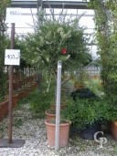 Callistemon 'Captain Cook'  Half-Std