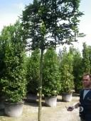 Carpinus  2m