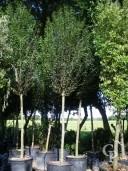 Carpinus Bet  Fastigiata  20-25 Extra