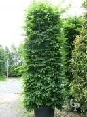 Carpinus Betulus  3,00 Column