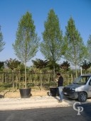 Carpinus Std 25-30