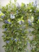 Ceanothus 'Trewithen Blue'  Espalier