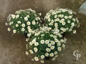 Chrysanthemum Frutescens  5l