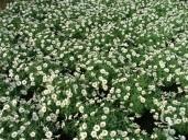 Chrysanthemum Frutescens 4 5l