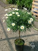 Chrysanthmum Frut Std 4 5l