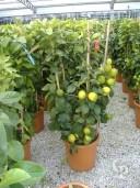 Citrus Limone  Column