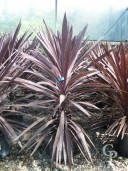 Cordyline 'Purple Tower'