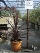 Cordyline 'Red Star'   LV18