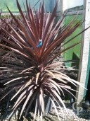 Cordyline 'Red Star'  18l