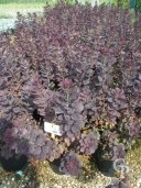 Cotinus Cogg 'Royal Purple'    10l