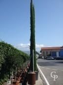 Cupressus  Semp 'Pyramidalis'   7m+