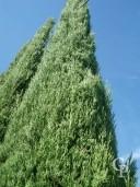 Cupressus Semp 'Pyramidalis'   6m+