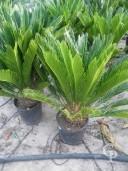 Cycas Revoluta  10l