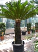 Cycas Revoluta Specimen