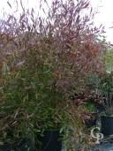 Dodones Viscosa 'Purpurea' 35l