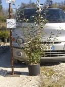Elaeagnus Ebbingeii   10 100cm