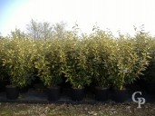 Eleagnus  'Lime Light'