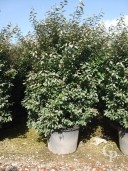 Eleagnus Ebbingei 130l Bush