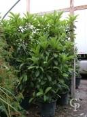 Eriobotrya  Japonica  35l Bush 2,00+