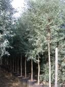 Eucalyptus  Rostrata Campb[1]