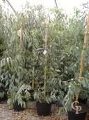 Eucalyptus Darlympleana