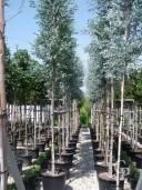 Eucalyptus Gunnii   Std  60l