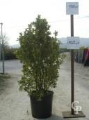 Euon Aureop C25 100-125cm