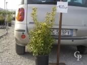 Euon Aureus C10 50-60cm