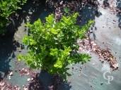 Euonoymus Japonica 5l