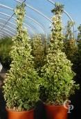 Euonymus Jap ' Elegantissima  Aureus' Cones