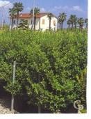 Euonymus Japonica