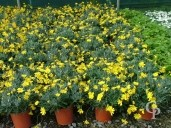 Euryops Pect 4 5l Flower