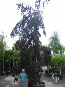 Fagus Syl 'Purple Fountain'    7,00+