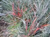 Fasicularia Bicolor