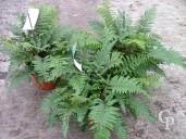Polystichum Polyblepharum 'Jade'   5l